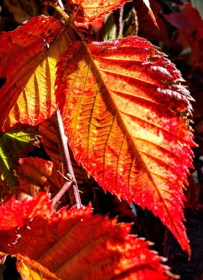 mirror of my mood Painterlyphotos Shapes And Forms Leaf Autumn Red Change Sunlight Close-up Autumn Collection