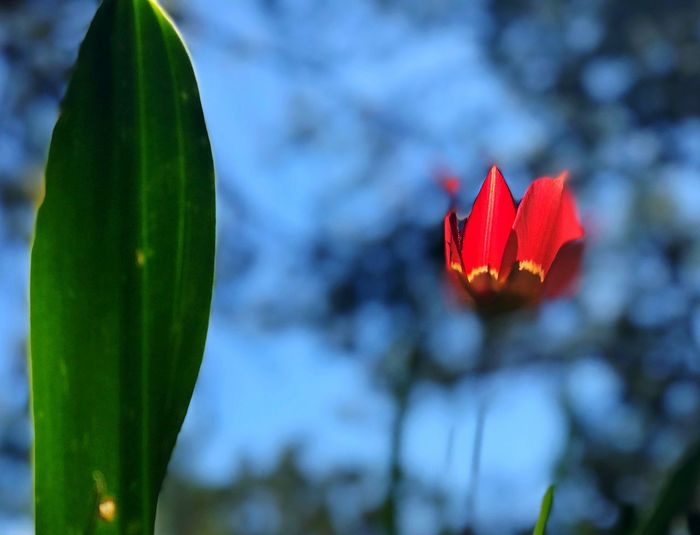 Tulip Plant Focus On Foreground Leaf Red Plant Part Beauty In Nature Close-up Nature Growth No People Freshness Flower Day Flowering Plant Vulnerability  Fragility Green Color Outdoors Tranquility Tree