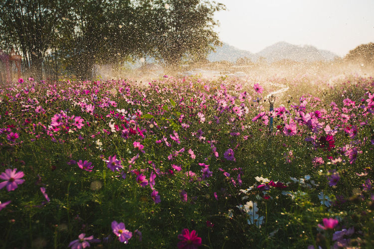 Cosmos flowers beautiful in the garden background, water splash