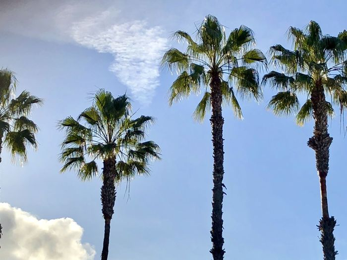 Sky And Clouds The Week on EyeEm Trees Background Backgrounds Beauty In Nature Blue Blue Sky Cloud - Sky Clouds Clouds And Sky Day Growth Low Angle View Nature No People Outdoors Palm Tree Scenics Sky Skyporn Tranquility Tree Tree Trunk Tropical Climate