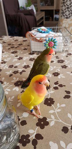 Bird Pets Animal Themes Close-up
