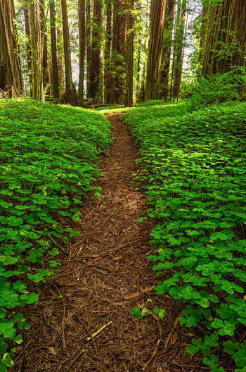 A small path through a redwood forest. Sorrel Clover Plant Tree Land Green Color Growth Tranquility Beauty In Nature Forest The Way Forward Direction Tranquil Scene Nature Footpath Scenics - Nature Day No People Environment Trunk Landscape Non-urban Scene Outdoors WoodLand Diminishing Perspective Trail Landscape_Collection Landscape_photography Forest Photography