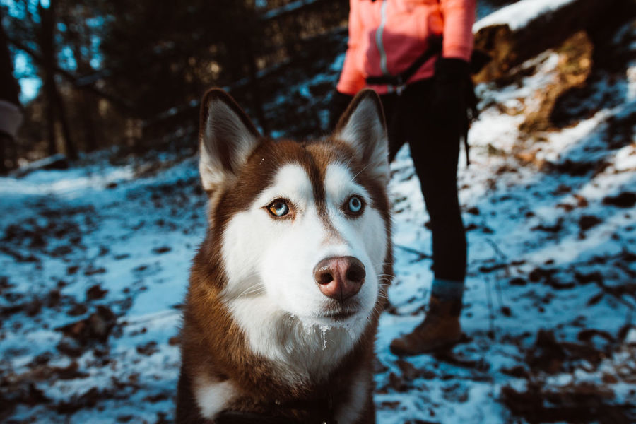 Animal Themes Close-up Cold Temperature Day Dog Domestic Animals Field Human Hand Leisure Activity Low Section Mammal Nature One Animal One Person Outdoors People Pets Real People Siberian Husky Sled Dog Snow Standing Winter