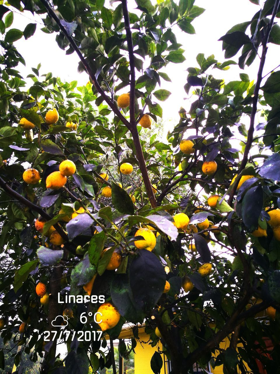 tree, growth, yellow, outdoors, day, nature, fruit, beauty in nature, low angle view, leaf, branch, freshness, no people, orange tree, citrus fruit, close-up, sky