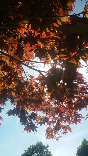Sun Autuum Sunlight Leaves Fall Red Scenics - Nature Tree Tree Area Branch Leaf Autumn Forest Pinaceae Beauty Sky Tree Canopy  Tree Trunk Treetop Treelined