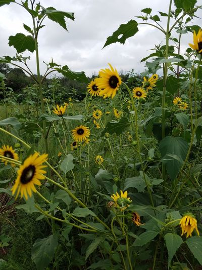 Hiking Field Of Sunflowers Outdoors Westside