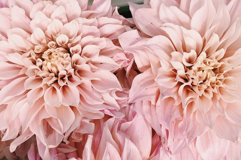 Close-up of pink dahlia flower