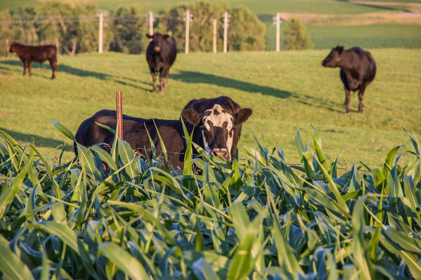 Agriculture Animal Beef Cow Black Black Angus Calf Canon60d Canonphotography Cattle Corn Cow Day Domestic Animals Farm Field Grass Livestock Outdoors Pasture Summer
