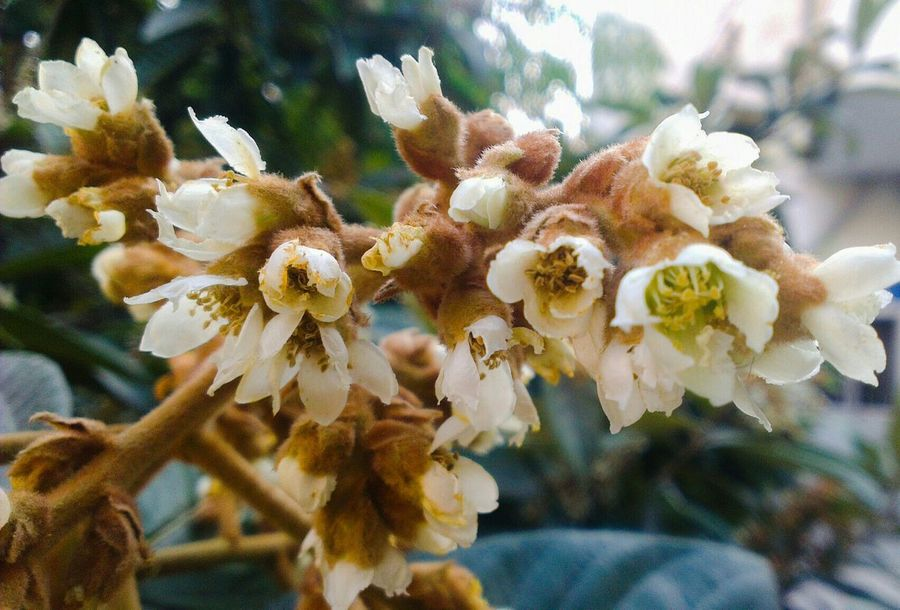 Loquat Loquat Flower White Flowers Flowers,Plants & Garden Nature Taking Photos Loquat Tree Morning Blossom White Check This Out