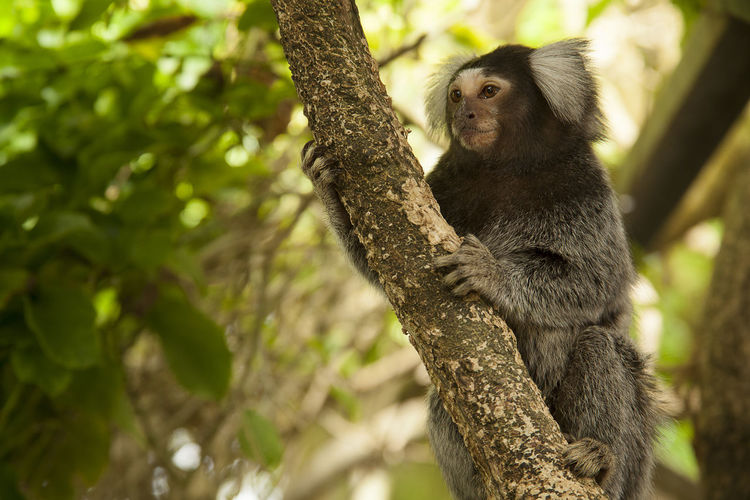 Tamarind monkey on tree at forest