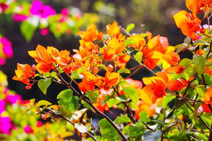 BOUGAINVILLEA... ORANGE COLOUR... Bougainvillea Flower Leaf Flower Head Sunlight Close-up Plant Flowering Plant In Bloom Blooming