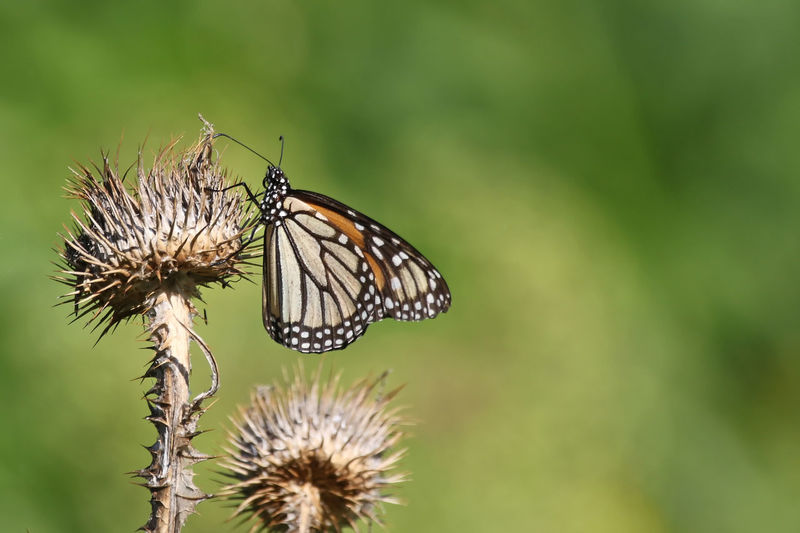 Close-up of butterfly on dead plant