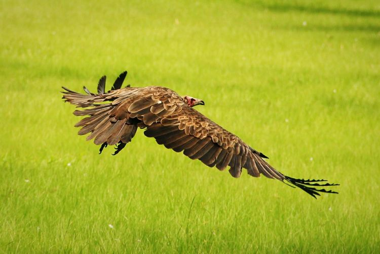 Close-Up Of Eagle Flying Over Grassy Field