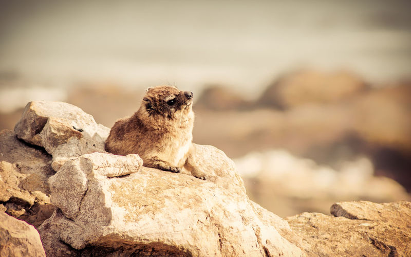 A rock hyrax soaking up some sun Nature Animal Animal Themes Animal Wildlife Animals In The Wild Brown Dassie Day Focus On Foreground Hyrax Mammal Nature No People One Animal Outdoors Rock - Object Rock Hyrax Rocks Single Animal Wildlife