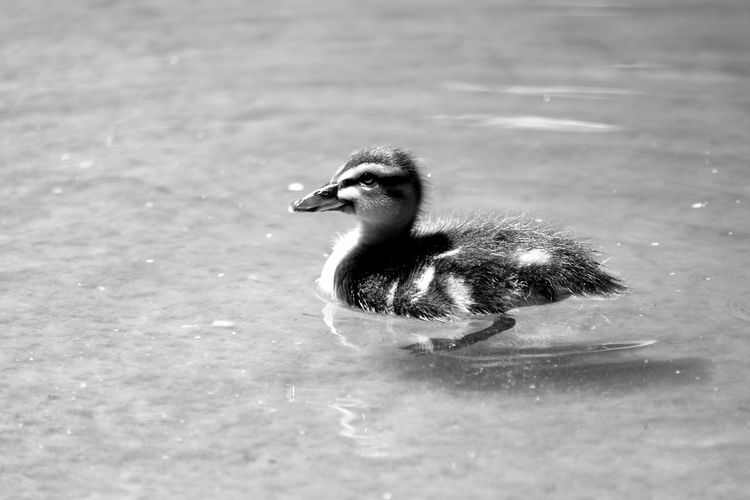 Duckling Swimming Animal Themes Animals Bird Bird Photography EyeEm Birds_collection Black & White Black And White Blackandwhite Blackandwhite Photography Bnw Close-up Duck Eye4photography  EyeEm Best Shots EyeEmBestPics Minimal Minimalism Minimalobsession Water EyeEm Gallery Taking Photos Portugal