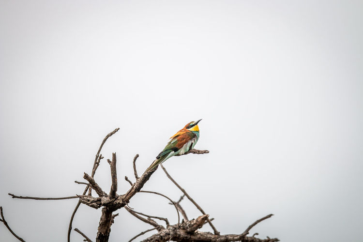 Little bee-eater perching on a branch in the Welgevonden game reserve, South Africa. Animal Themes Animal Animals In The Wild Animal Wildlife Wildlife Wildlife & Nature Wildlife Photography Nature Nature Photography Beauty In Nature Safari Safari Animals Kruger Park Travel Travel Destinations Africa African Safari African Beauty Bird Vertebrate Bee-eater Little Bee-eater Avian Bird Photography Ornithology