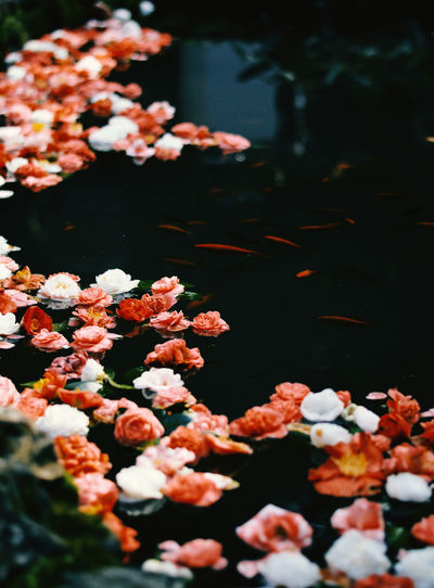 Flower Water Beauty In Nature Nature Plant Lake No People Flower Head Floating On Water Outdoors Day Close-up Selective Focus Fishes Goldfish Beautiful Photography Georgia Batumi TheWeekOnEyeEM EyeEmNewHere EyeEm Best Shots EyeEm Gallery EyeEm Selects Flowers Byme Like Followme