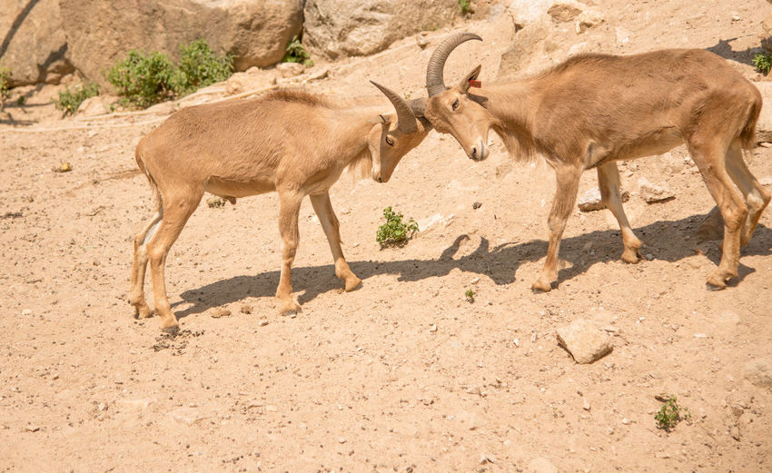 Side view of goats fighting on land