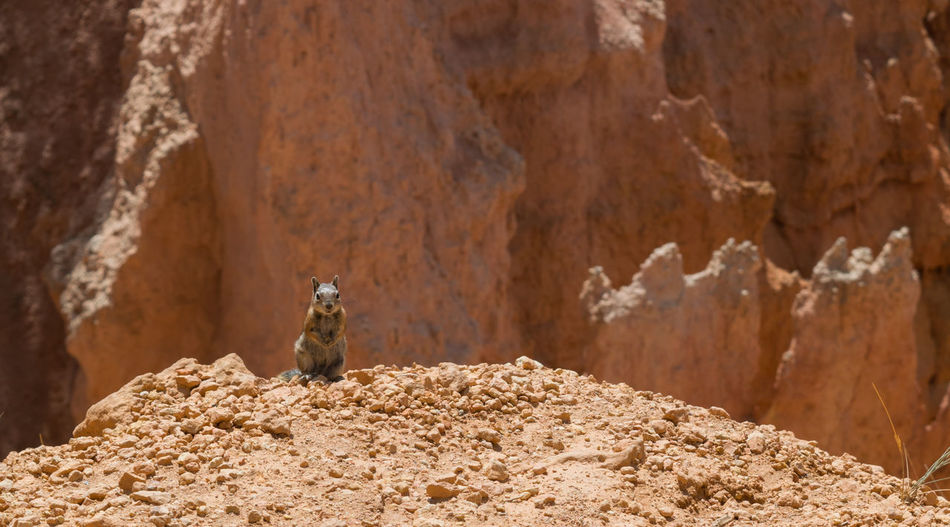 Animals In The Wild Bryce Canyon Chipmunk Close-up Exploring EyeEm Best Shots EyeEm Nature Lover Hiking National Park Nature Squirrel Beauty In Nature Bokeh Bryce Canyon National Park Chipmunk Chipmunk Photography National Park Wildlif Orange Color Peaceful Rock - Object Rocks Wildlife