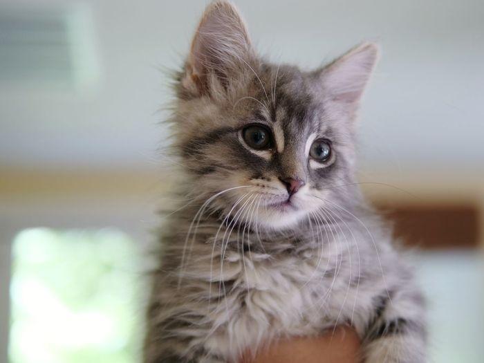Pets Ear Domestic Cat Feline Kitten Portrait Animal Hair Animal Themes Close-up Whisker Maine Coon Cat