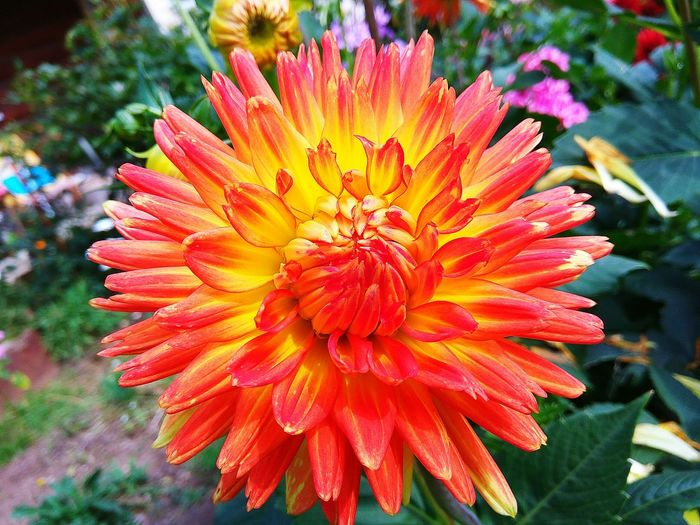 Flower Petal Fragility Flower Head Beauty In Nature Freshness Nature Growth Pollen Plant Blooming OutdoorsDay No People Close-up Springtime Yellow Dahlia Flower Dahlia Peony Flower Nature Beauty In Nature Growth Pink Red