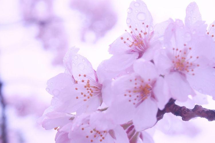 Photo Cherry Blossoms Spring EyeEm Nature Lover Flowerporn