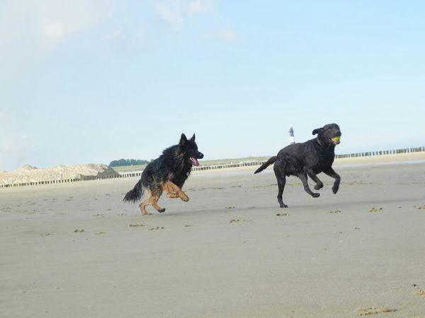 Dog❤ German Shepherd Labrador Animals Beach Walk I Love My Dogs❤️ My Dog Is Cooler Than Your Kid. Running Pet Photography  Dog Love On The Way
