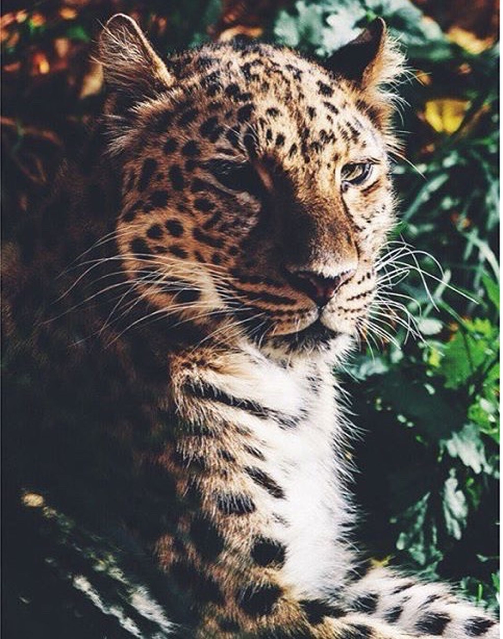 animal themes, one animal, mammal, animals in the wild, animal markings, feline, tiger, wildlife, whisker, natural pattern, undomesticated cat, domestic cat, carnivora, focus on foreground, leopard, safari animals, big cat, close-up, relaxation, zoo