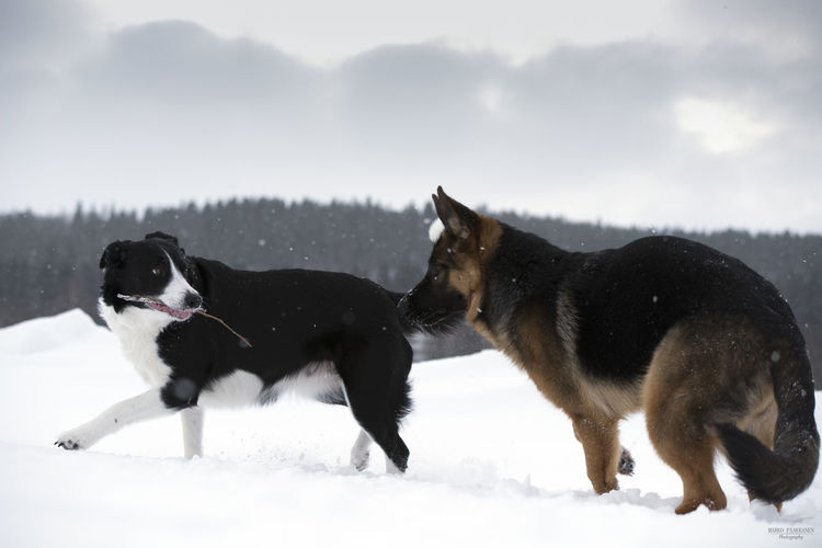 Border Collie Animal Animal Themes Border Collie Canine Cold Temperature Dog Domestic Domestic Animals Field German Shepherd Group Of Animals Land Mammal Nature No People Pets Snow Snowcapped Mountain Snowing Two Animals Vertebrate Winter