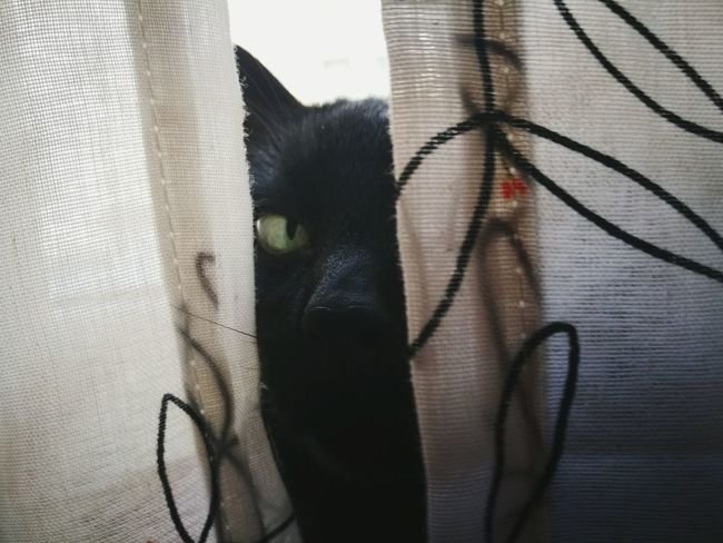 Curtain Pets Domestic Animals Animal Themes One Animal Feline Indoors  Portrait Hiding Close-up Looking At Camera Mammal No People Domestic Cat Day Cats 🐱 Cats Of EyeEm Cats Lovers  Black Cat Black Cat Photography Black Cat Collection