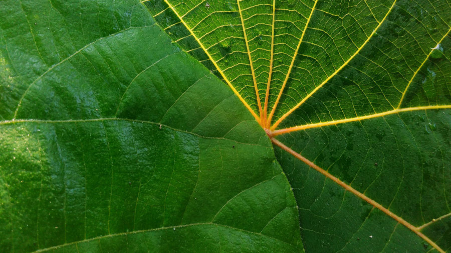 Nature Green Leaf Leaf 🍂 Nature Nature Leaf Nature Leaf Plant Beauty In Nature Close-up Day Freshness Green Color Green Leaf Greenleaf Growth Leaf Leaf Vein Leafs Photography Natur Nature Nature Leafs Close Up Background Room For Copy Nature_collection No People Outdoors Plant Rijall Rijall Blues Rijallblues