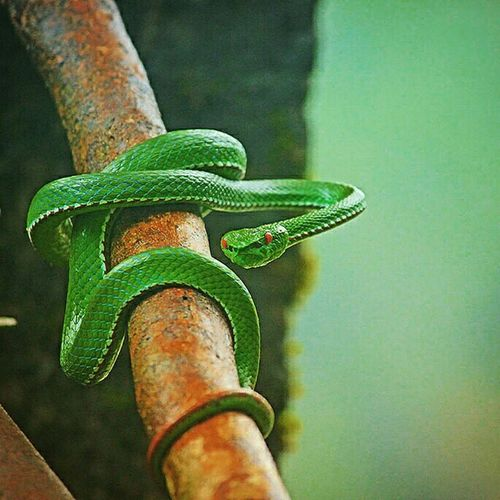 Spotted this creature at Nongriat. It's colours are magnificent. Green and red Rubyeyedpitviper Greensnake Snakes Wildlife Nature