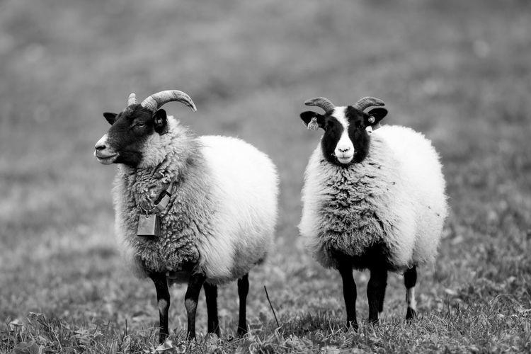 Portrait of sheep on landscape