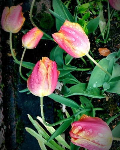 1.Mai 2017 Nature Rainy Days Blooming Flower Beauty In Nature Fragility Flower Head Iloverainydays Tulips🌷 Raindrops Outdoor Photography 1may2017 EyeEmNewHere Break The Mold The Great Outdoors - 2017 EyeEm Awards