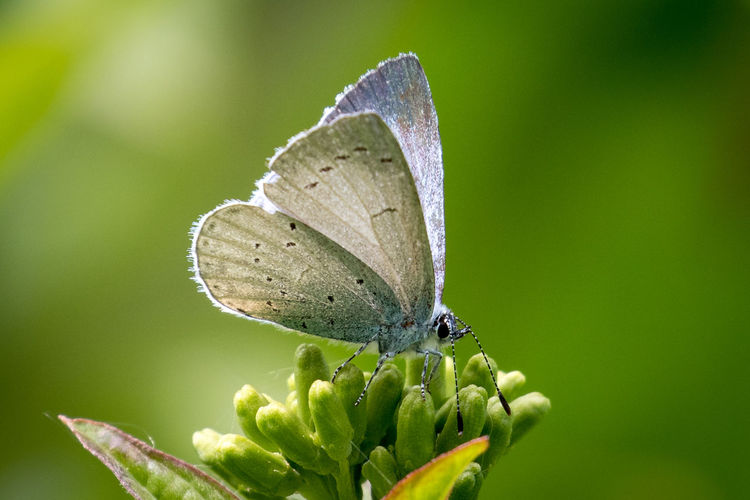 Butterfly on buds