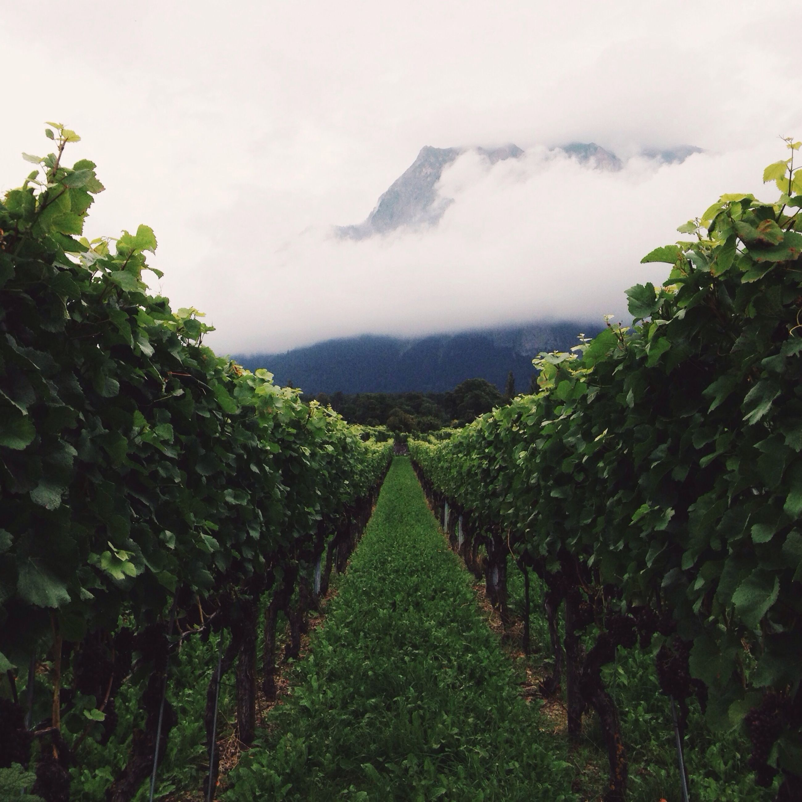 green color, growth, tree, mountain, sky, tranquility, nature, tranquil scene, scenics, beauty in nature, landscape, fog, vineyard, agriculture, lush foliage, plant, rural scene, cloud - sky, day, green