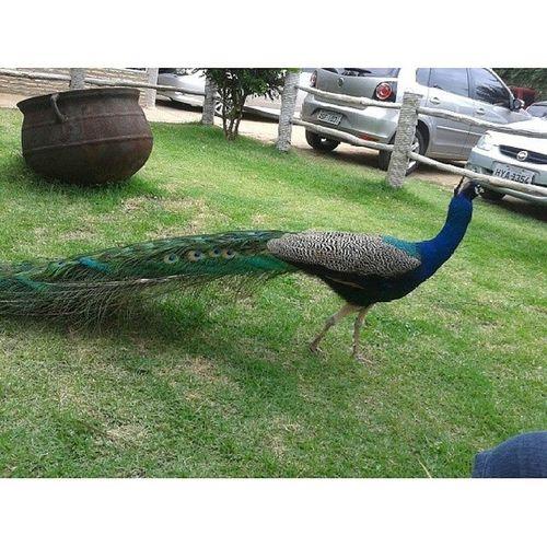 Olha quem apareceu!!Mas nao se abriu pra mim..kkk..Peacock Nature Pav ão Beautiful photooftheday