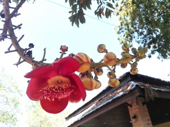 Bindi Couroupita Guianensis Red Tree Plant Tree Hanging Low Angle View Red Day Branch No People