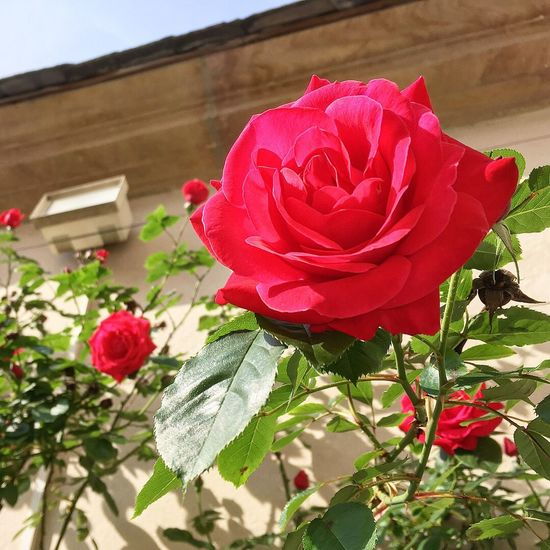 Rosengarten Bamberg Mittelfranken Germany Bayern Bamberg  Mittelfranken Flowers Flowering Plant Flower Plant Beauty In Nature Fragility Petal Vulnerability  Rosé Flower Head Inflorescence Freshness Rose - Flower Nature Growth Close-up Red No People Day Vase Outdoors