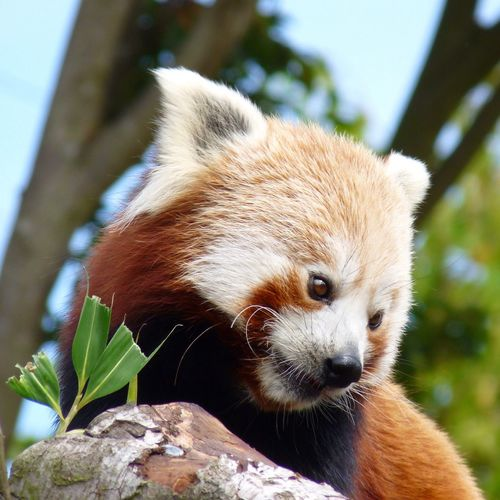 A beautiful red panda
