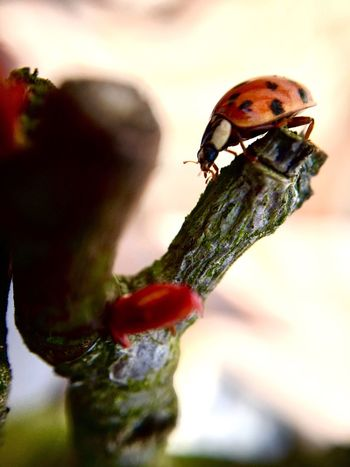 Ladybug Ladybugmacro Macro Macro Photography Animals In The Wild Animal Themes Red Insect One Animal Nature Close-up Focus On Foreground Day No People Animal Wildlife Outdoors Food Beauty In Nature Perching Insects  Insect Photography Insects Collection Animals