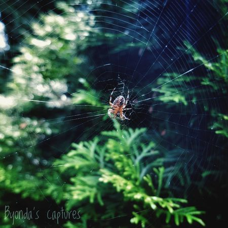 Spider Spider Web One Animal Insect Animal Themes Nature Fragility No People Byondascaptures Photography 2017