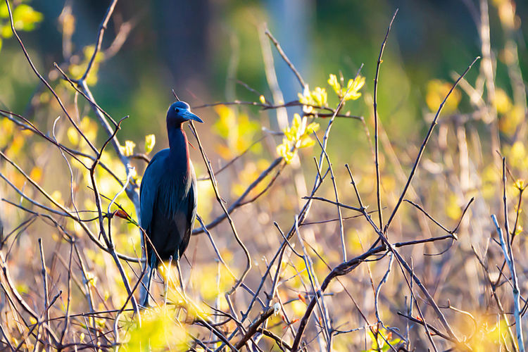 Vertebrate Bird Animal Wildlife Animal Themes Animal Animals In The Wild One Animal Perching Plant Focus On Foreground No People Nature Day Selective Focus Branch Outdoors Land Tree Looking Looking Away Little Blue Heron