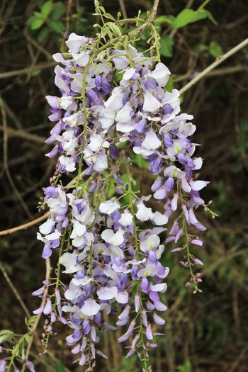 Spring 2018 Wildflowers and Blooms Memorizing Fragrance Wild Wisteria Wisteria Flower Beauty In Nature Close-up Day Flower Flower Head Fragility Freshness Growth Nature No People Outdoors Petal Plant Purple