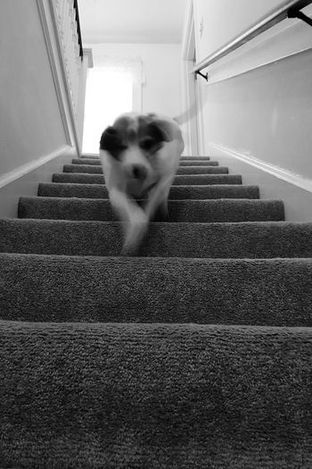 One Animal Animal Themes Looking At Camera Pets Mammal Domestic Animals Dog Portrait Steps And Staircases Indoors  No People Day Dog Going Down Stairs Action Shot  Blurred Motion Running Down Stairs Pet Perspective Diminishing Perspective Mixed Breed Medium Sized Dog Jackabee Everyday Moments Black And White Perspective Low Angle View