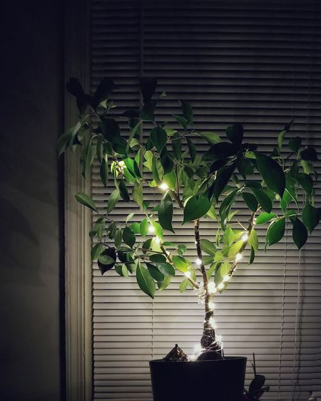 No People Plant Leaf Indoors  Growth Tree Ficus Tree Ficus Fairy Lights Lights On Trees LED Light Shadows And Light Beautiful Houseplant Nature Tadaa Community EyeEm Gallery Eye4photography