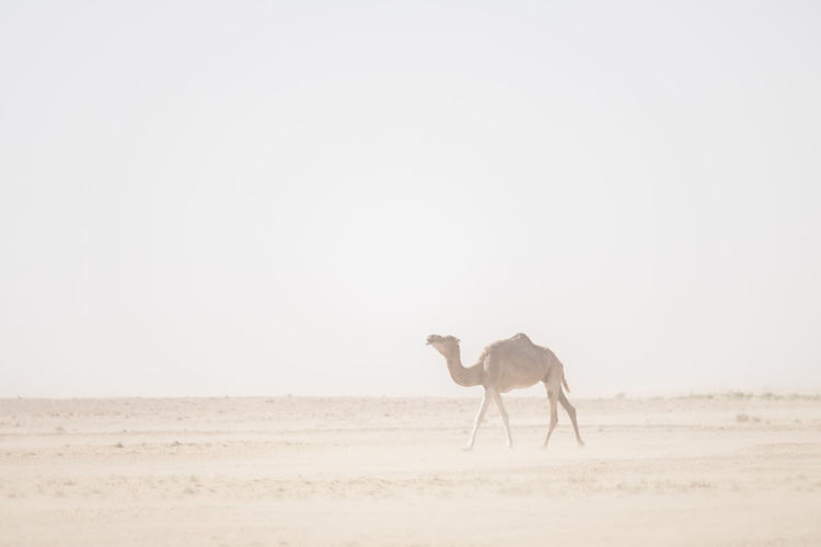 lone some camel in the Sahara desert during sandstorm Mammal Camel Sahara Desert Africa India Sandstorm Lonesome Animal Themes Animal One Animal Domestic Animals Domestic Sky Vertebrate Pets Livestock Animal Wildlife Land Landscape Copy Space Day Nature Field Clear Sky Environment No People Herbivorous Outdoors Arid Climate