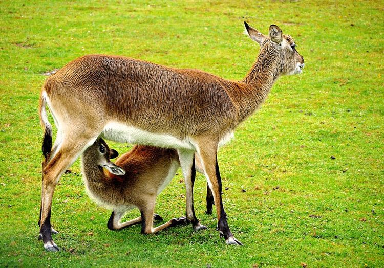 Cob lechwe (cobus leche) Cob Animal Themes Animal Mammal Grass Plant Field Green Color