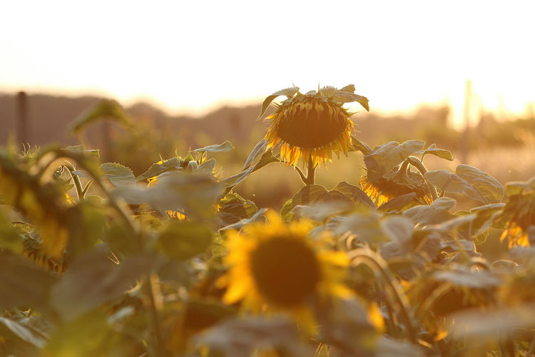 Close-up of sunflower on field against sky