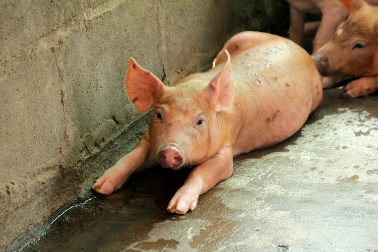 Small pigs in the stable are eating and growing. To send to the slaughterhouse. Is a pork industry To be human. Small Pigs In The Stable Are Eating And Growing. To Send To The Slaughterhouse. Is A Pork Industry To Be Human. Animal Animal Head  Animal Themes Day Domestic Domestic Animals High Angle View Livestock Lying Down Mammal No People One Animal Outdoors Pets Pig Piglet Pink Color Relaxation Vertebrate Young Animal